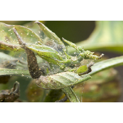 How to get rid of spider mite in a grow room